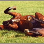 FALBRAV enjoying a roll after working out.  Courtesy Stefano Grasso.