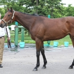 My Step Daugther ONE CARAT, as I sold the stallion FALBRAV and the dam BALDWINA!